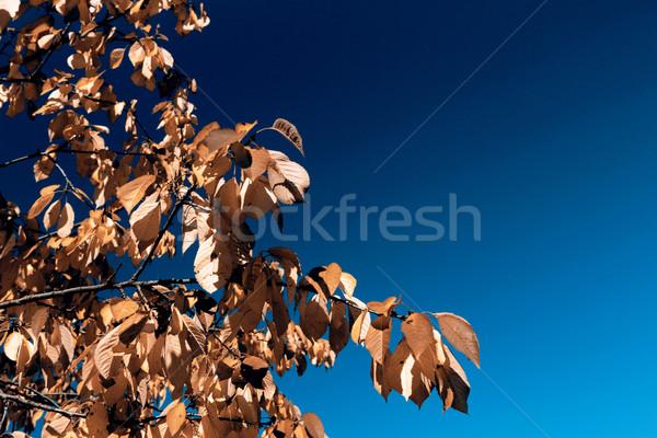 leafs in autumn Stock photo © jarin13