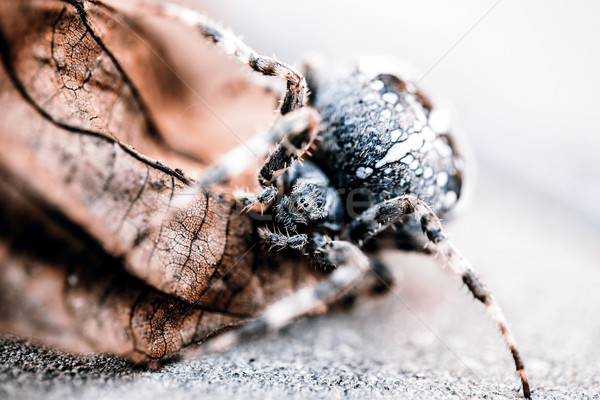 Big Orb spider on the leaf Stock photo © jarin13