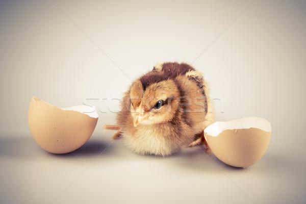 Bonitinho pequeno frango fora branco ovo Foto stock © jarin13
