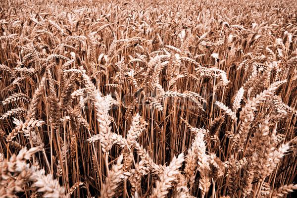 Grão colheita cevada trigo palha comida Foto stock © jarin13