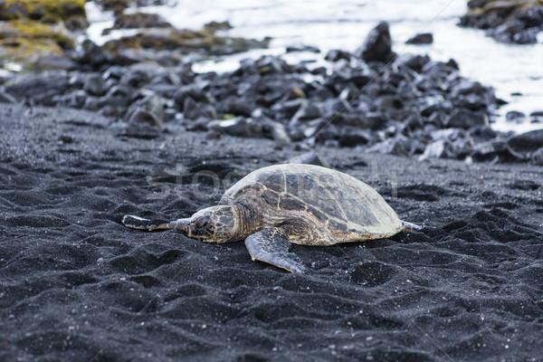 beautiful big turtle lying on black sand Stock photo © jarin13