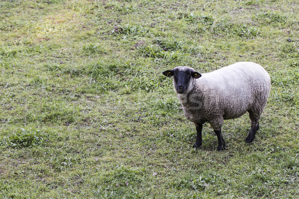 Sheep on pasture Stock photo © jarin13