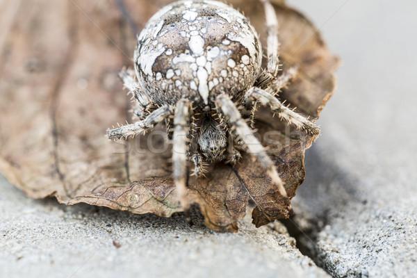 Big Orb spider on the leaf Stock photo © jarin13