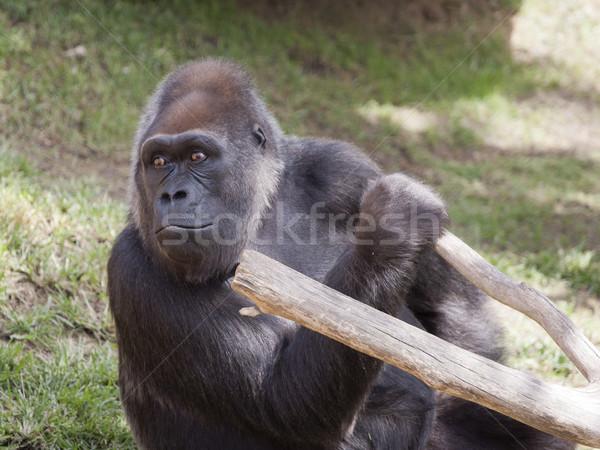 женщины горилла сидят обезьяны джунгли африканских Сток-фото © jarp17