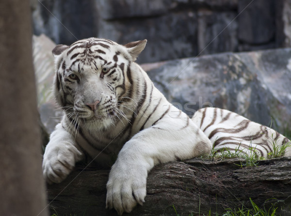white Tiger Stock photo © jarp17