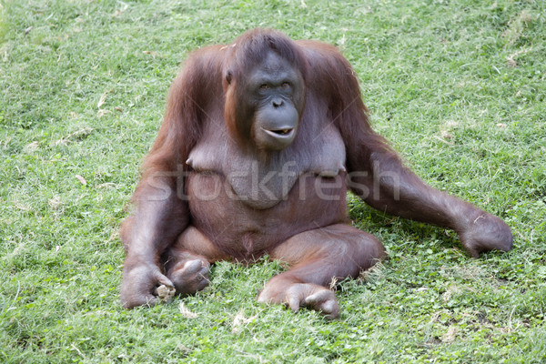orangutan Stock photo © jarp17