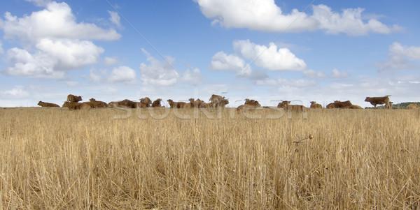 Grzech wody wiosną trawy krajobraz krowy Zdjęcia stock © jarp17