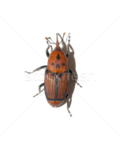 Escarabajo pico rojo largo insectos típico Foto stock © jarp17