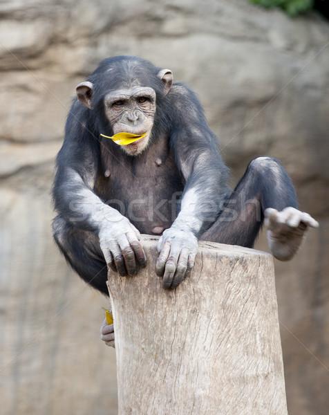 шимпанзе еды желтый лист животного живая природа Сток-фото © jarp17