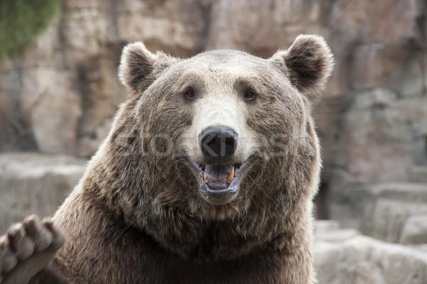 brown bear Stock photo © jarp17