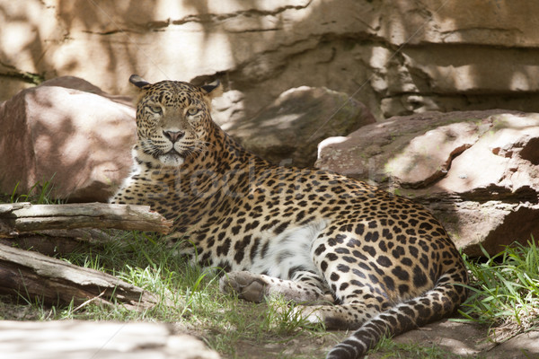 çita gölge sıcak kedi hızlandırmak hayvan Stok fotoğraf © jarp17