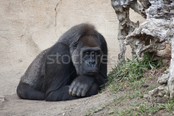 Gorilla vrouwelijke aap jungle sterke bont Stockfoto © jarp17