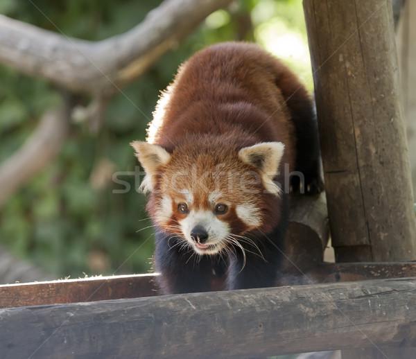 red panda Stock photo © jarp17