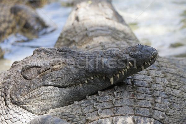crocodile mouth Stock photo © jarp17