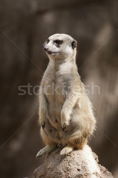 meerkat Stock photo © jarp17