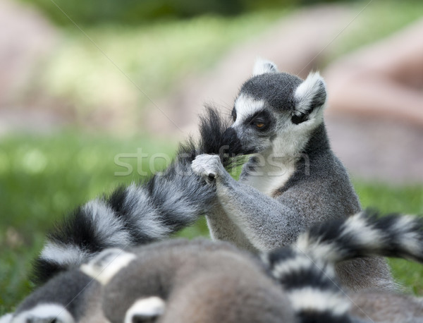 lemur tail Stock photo © jarp17