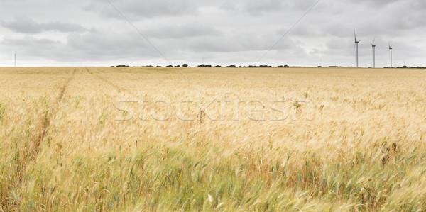 Grano ecologia natura estate impianto Foto d'archivio © jarp17