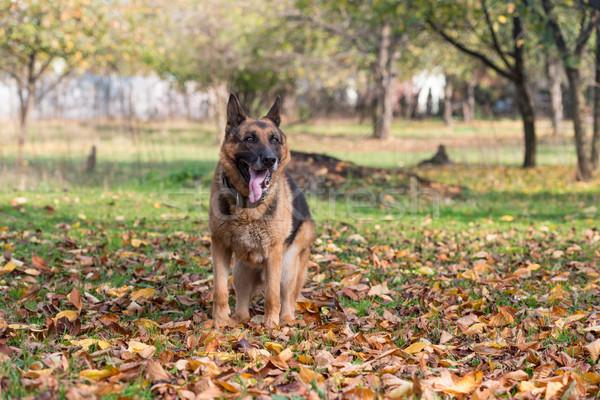 Dog German Shepherd Stock photo © Jasminko