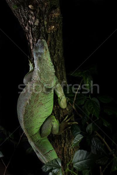 Leguaan boom kruipen poseren dier mannelijke Stockfoto © Jasminko