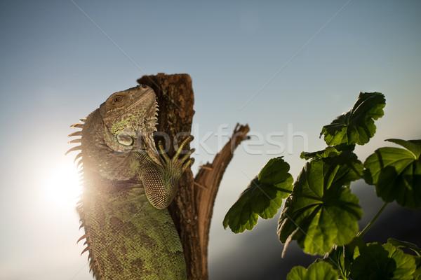 Iguana peça madeira posando retrato Foto stock © Jasminko