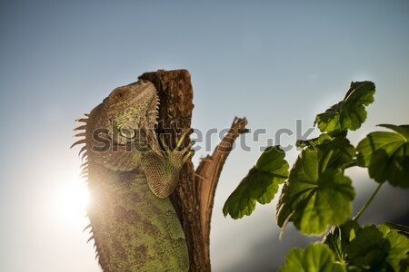 Leguaan kruipen stuk hout poseren zon Stockfoto © Jasminko