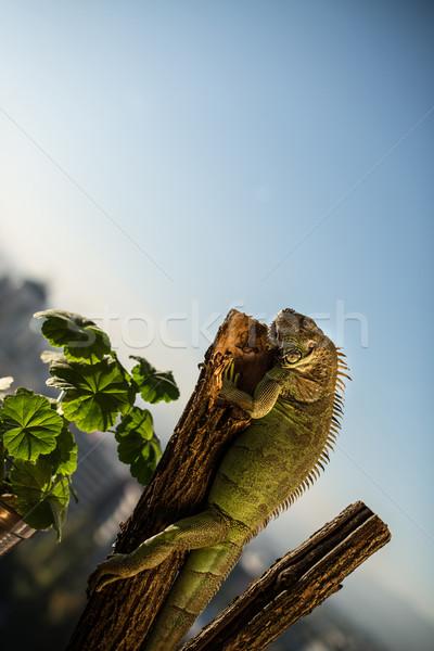 ストックフォト: イグアナ · 作品 · 木材 · ポーズ · 肖像