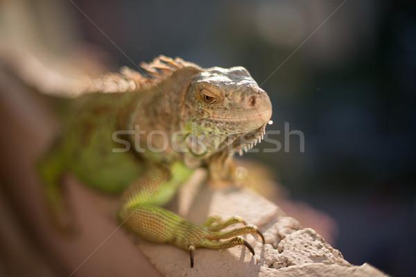 Leguaan poseren zon ontspannen portret dier Stockfoto © Jasminko