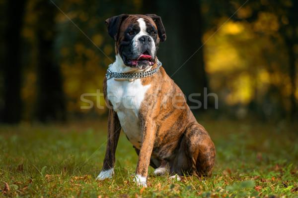 German Boxer Stock photo © Jasminko
