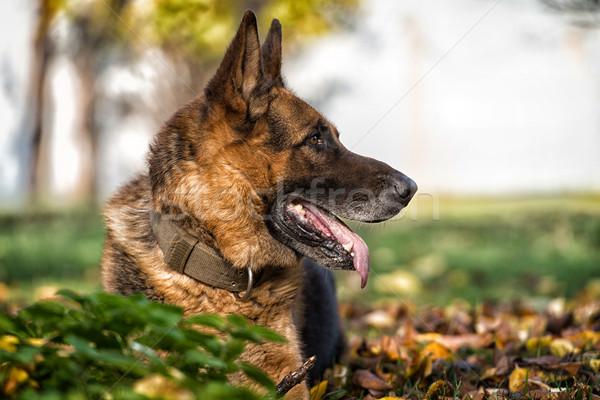 German Shepherd Alsatian Police Dog Stock photo © Jasminko