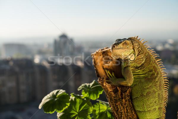 Stockfoto: Leguaan · kruipen · stuk · hout · poseren · portret
