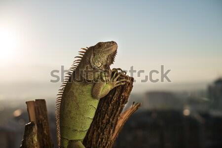 イグアナ 作品 木材 ポーズ 肖像 ストックフォト © Jasminko