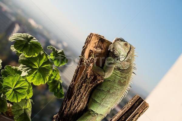 iguana crawling on a piece of wood and posing Stock photo © Jasminko