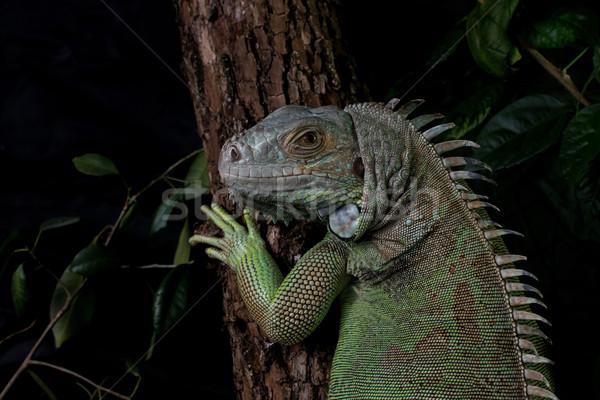 イグアナ ツリー ポーズ 動物 男性 ストックフォト © Jasminko