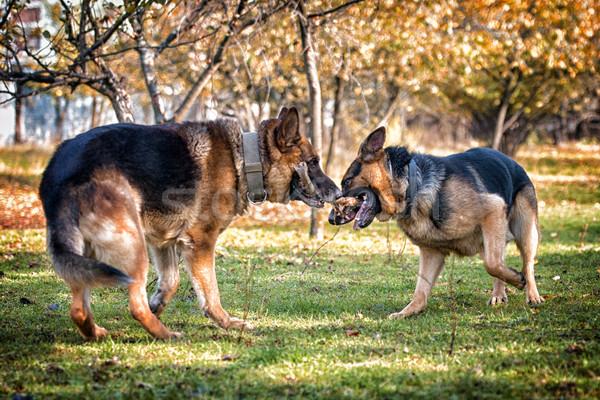 Iki köpekler bir sopa çim hayvan Stok fotoğraf © Jasminko