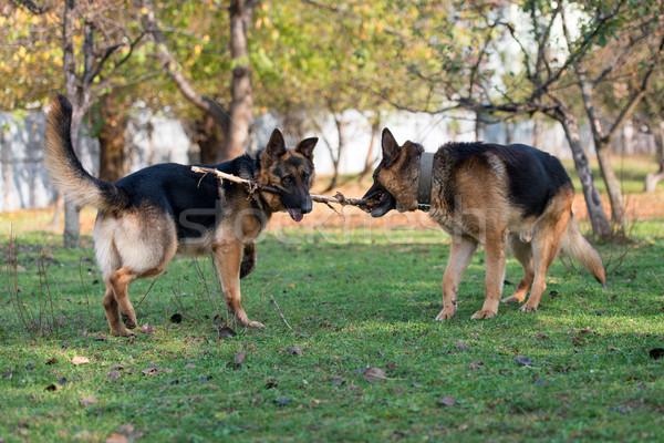 Kettő kutyák harcol bot fű állat Stock fotó © Jasminko