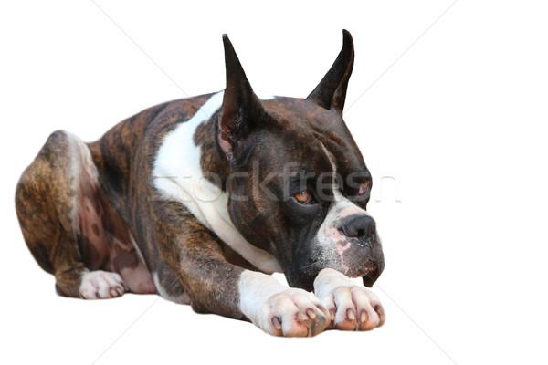 Boxer Dog  Stock photo © javiercorrea15