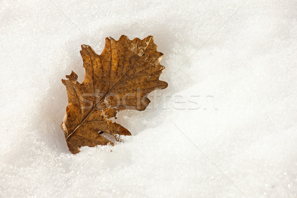 Close-up of brown leaf in winter season Stock photo © jaycriss