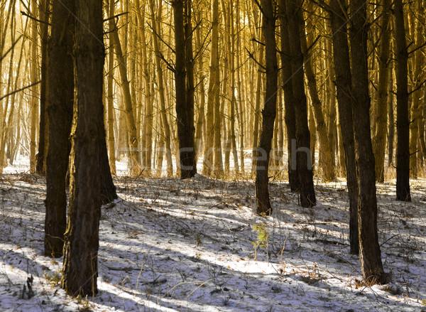 утра солнечный свет Тени лес дерево древесины Сток-фото © jaycriss