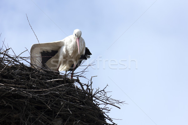 Standing stork in her nest in spring Stock photo © jaycriss