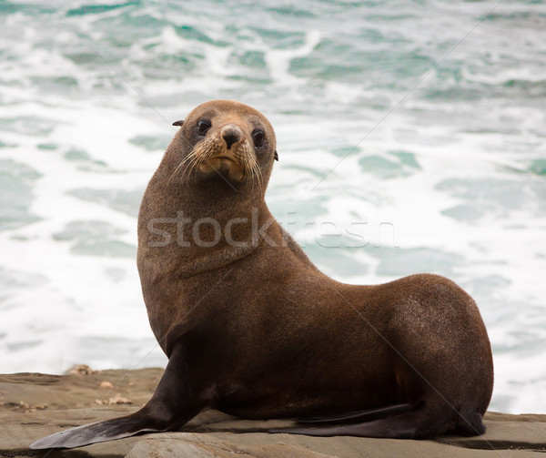 Nova Zelândia pele selar bonitinho jovem praia Foto stock © jaykayl