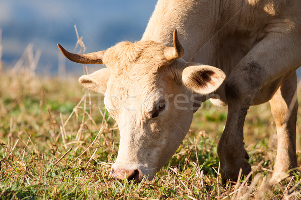 Close-up of cow grazing in pasture Stock photo © jaykayl