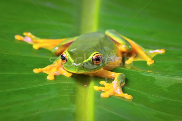 Mooie groene kikker vergadering blad oranje Stockfoto © jaykayl