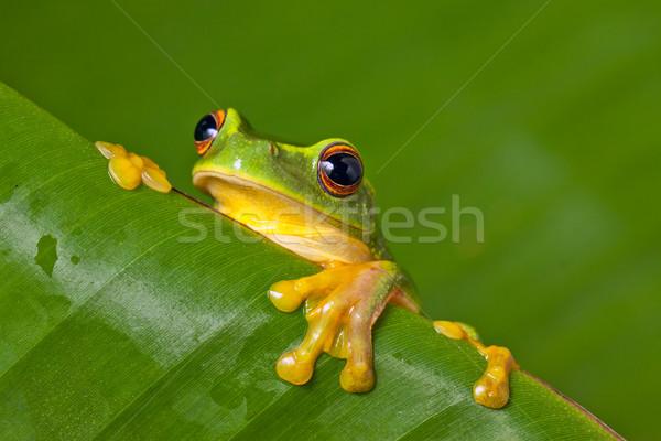 Cute kolorowy żaba liści pomarańczowy Zdjęcia stock © jaykayl