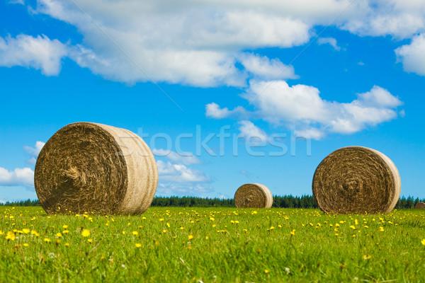 Siano zielone dziedzinie duży żółte kwiaty Zdjęcia stock © jaykayl