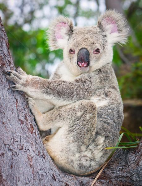 Stock photo: Portrait of a wild  Koala sitting in a tree