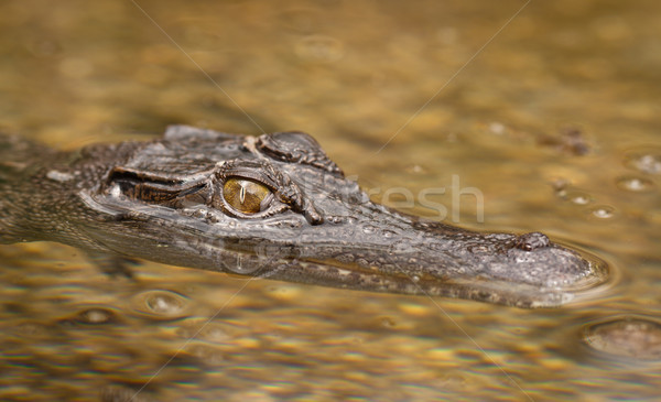 Close-up shot of saltwater crocodile Stock photo © jaykayl