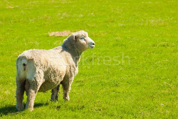 Pecore verde campo bella lussureggiante erba Foto d'archivio © jaykayl