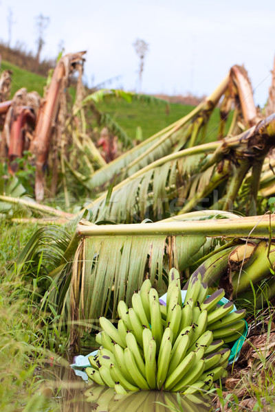 Banana plantation destroyed by tropical cyclone Yasi in Australi Stock photo © jaykayl