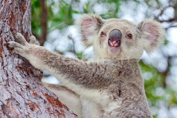 Portrait of a wild koala sitting in a tree Stock photo © jaykayl
