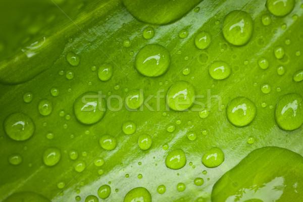 Groen blad waterdruppels trillend ochtend dauw Stockfoto © jaykayl